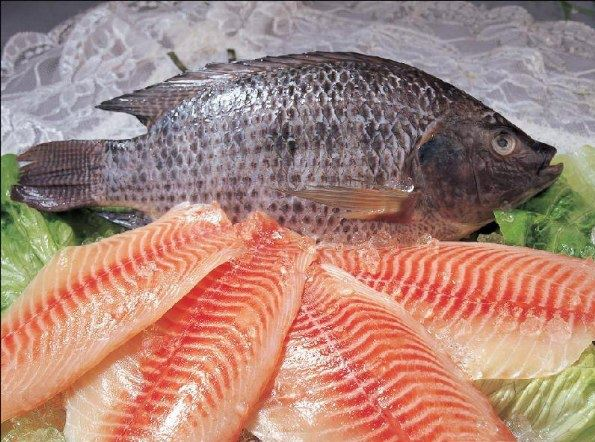 Tilapia i rischi di mangiare pesce di allevamento for Illinois fish farms